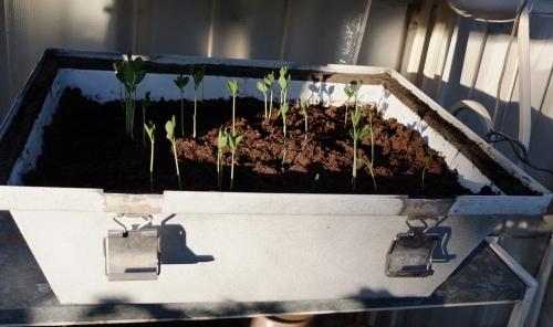 Minidrivhus med nye små planter